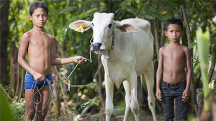 Cows For Cambodia Hp